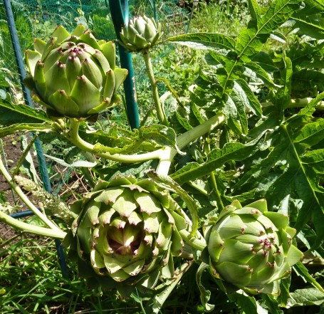 Artichoke_globes on plant