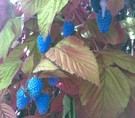 Blue raspberries 2008*
