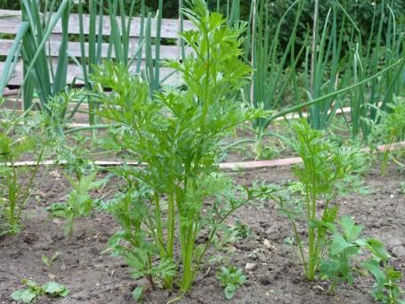 carrots - early nantes