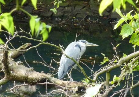 Glasgow - Kelvingrove Park_grey Heron crop
