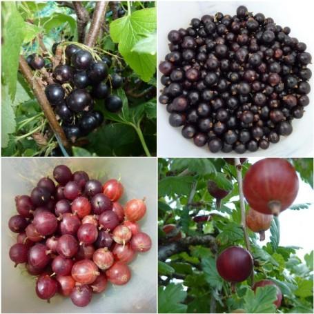 MOSAIC-gooseberries & blackcurrants