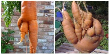 MOSAIC - mutant carrots