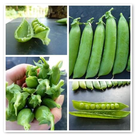 MOSAIC - peas