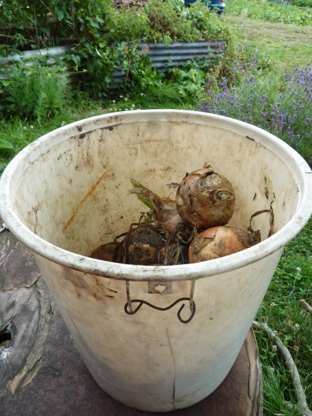 onions from Lester in bucket