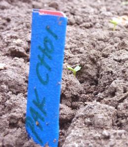 Pak Choi seedling