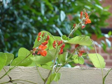 runner bean flowers in yard