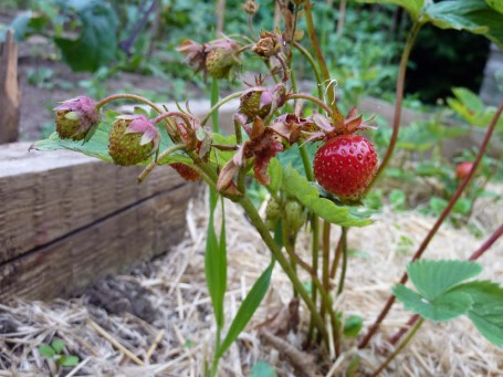 Our strawberries - relocated this year and having a fruiting rest