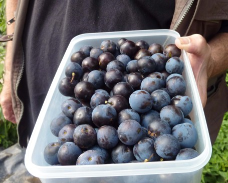 Cedric damsons picked
