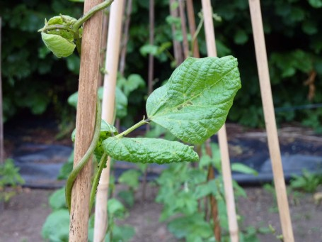 runner beans with blackfly