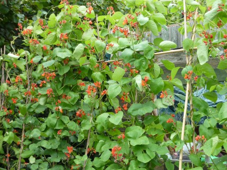 runner beans_revival with lots of flowers