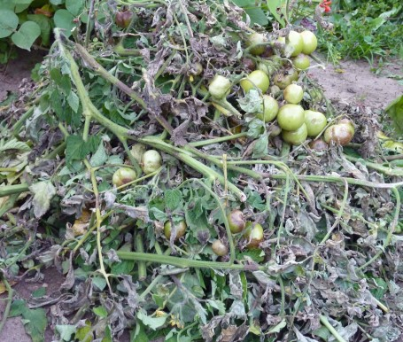 Tomato blight - leaf pile