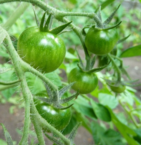 Tomatoes - just 1 week before blight hit