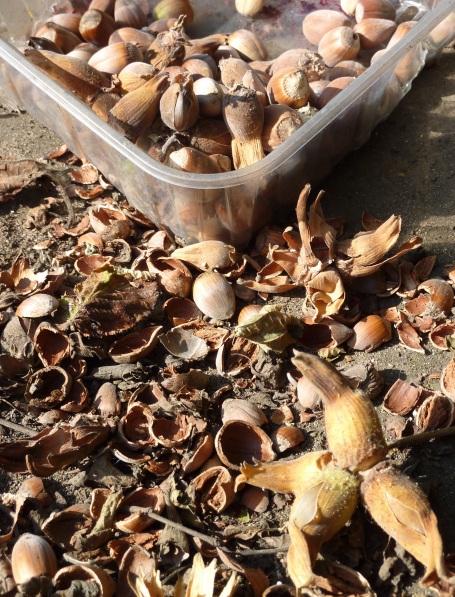 cobnut shells