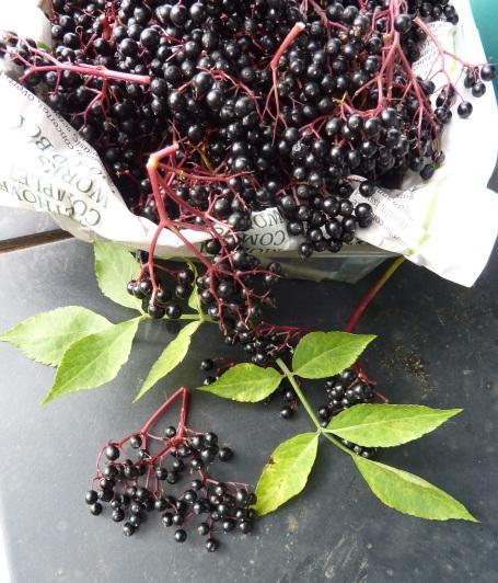 elderberries_picked 1