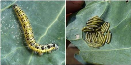 MOSAIC - cabbage white caterpillars