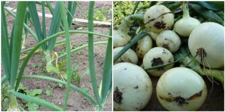 MOSAIC-onions