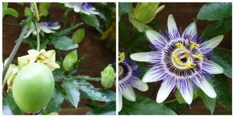 MOSAIC - passion flower fruit