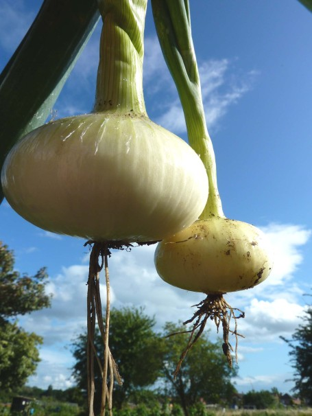 Onions_little and large