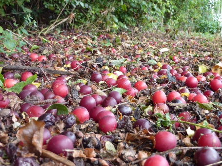plums from the playground_carpeting the ground