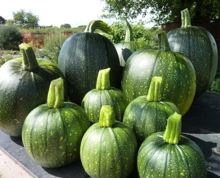 pumpkin harvest 25-08-09