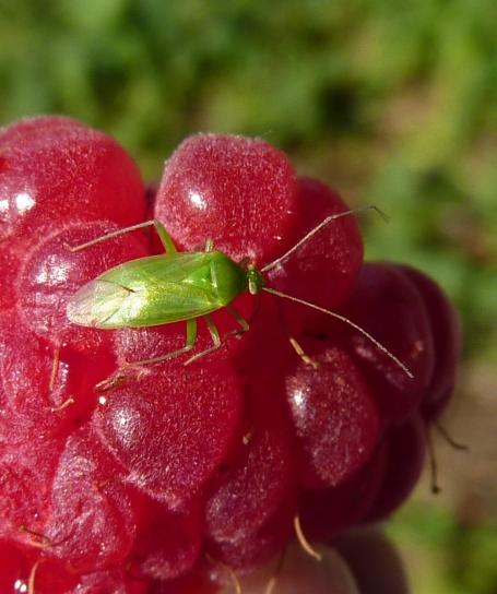 raspberries_green bug 3