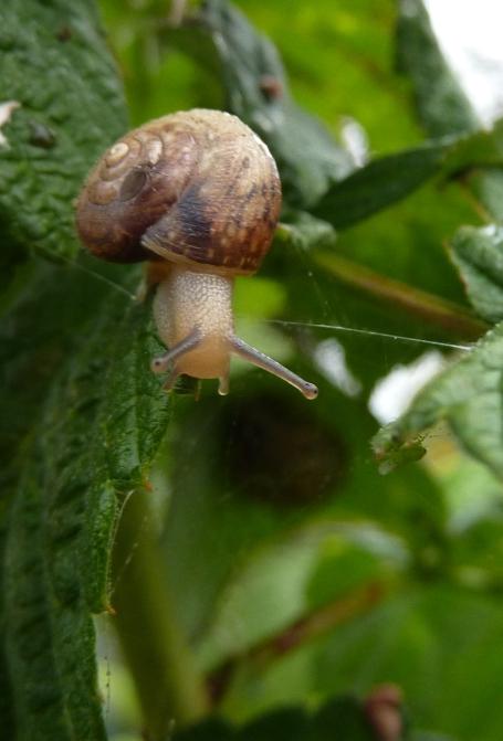 snail on raspberry plants