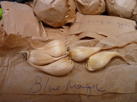 blue magic iris bulbs