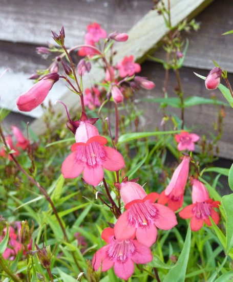 Henley's pink bells