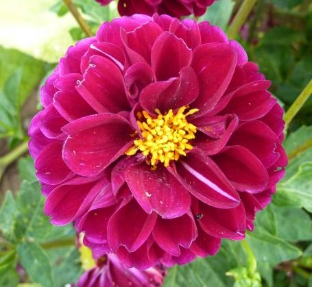 Henleys red flower