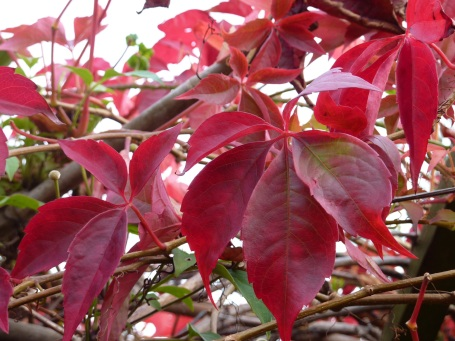 virginia creeper for header