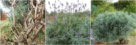 MOSAIC - lavender bush