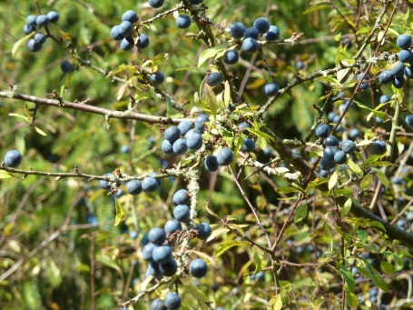 sloes on high branches