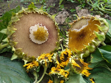 Sunflower for birds