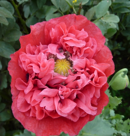 Poppy_red bushy