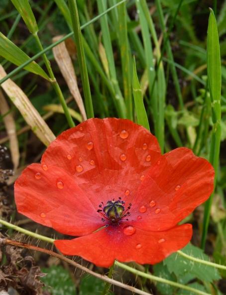 red poppy 18-9-09