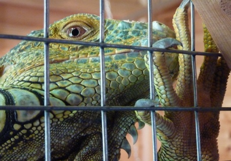 2-2-13 - Farm park_Iguana 4B