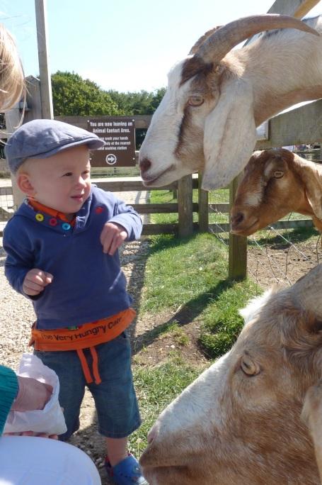 31-8-13 - Cotswold Farm Park_feeding goats 1