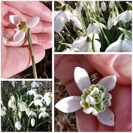 Feb 2014 - snowdrops at allotment