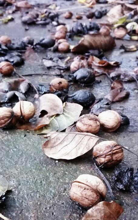walnuts on path 4B