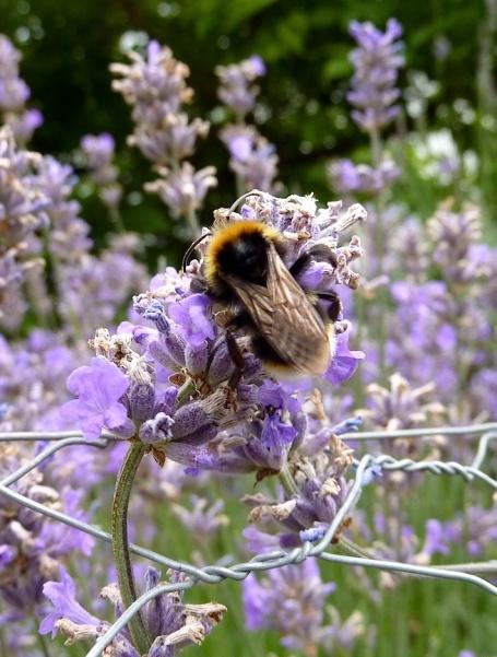 2-8-10 - Durham_lavender bee* 4B
