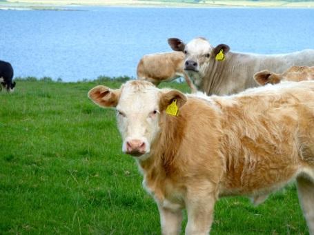 2009 Kames cows