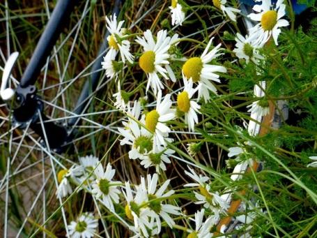 2009 Kames - daisies