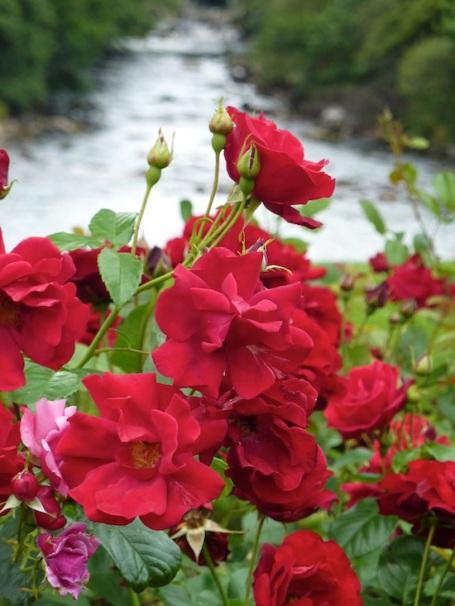 2010 Aberdeen roses