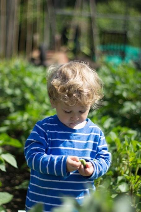 Allotment - toddler podding broad beans
