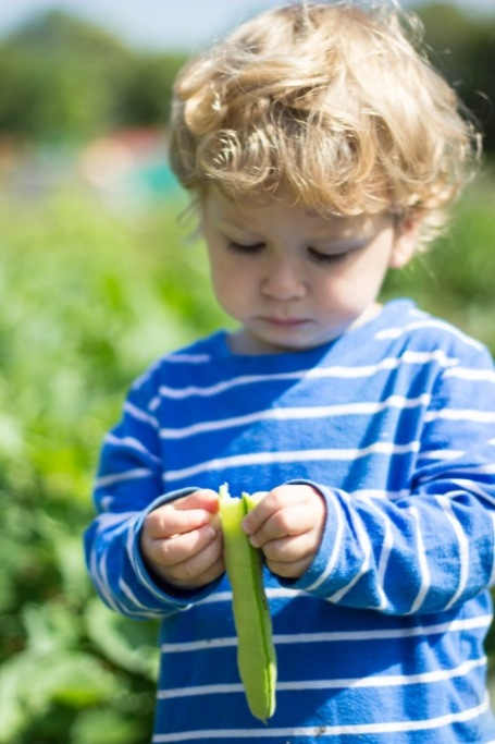 allotment toddler broad beans - nipitinthebud.co.uk