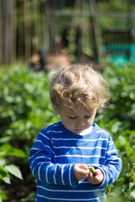 allotment toddler eating broad beans - nipitinthebud.co.uk