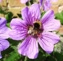 Day 3 #30dayswild - carder bee - nipitinthebud.co.uk