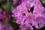 #GreatBritishBeeCount - bumble bee at Trellisick House NT Cornwall