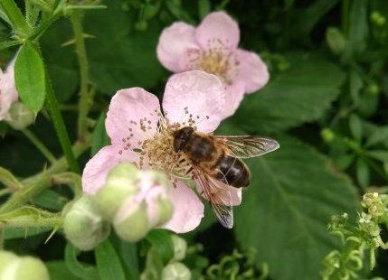 honeybee in the hedgerow - nipitinthebud.co.uk
